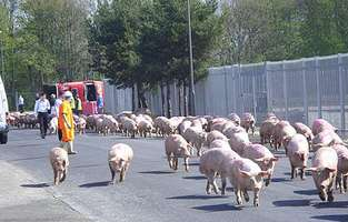 pigs свиньи